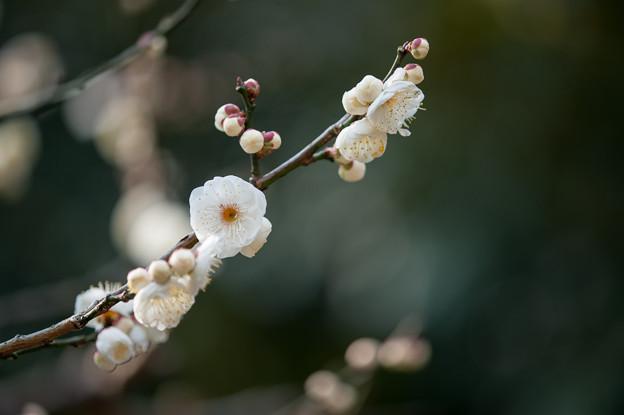 【大船植物園(八重茶青)】3