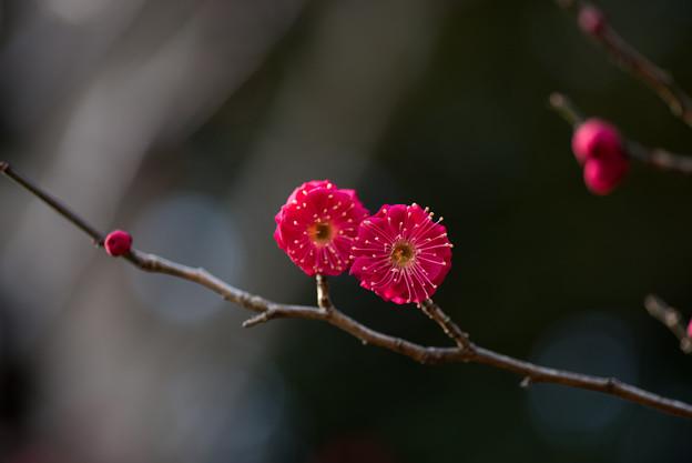 【大船植物園(鹿児島紅)】2