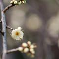 Photos: 【大船植物園(緑萼枝垂)】3