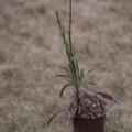 【庭の鉢植(一粒のタネから)】1