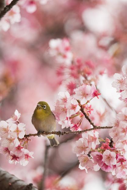 【新宿御苑(寒桜とメジロ)】1