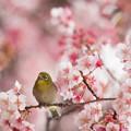 Photos: 【新宿御苑(寒桜とメジロ)】1