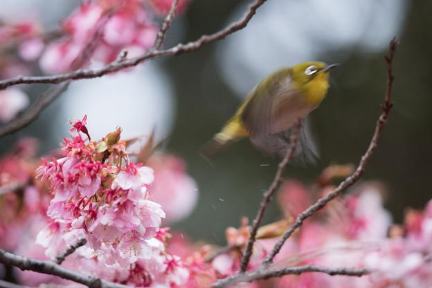 【新宿御苑(寒桜とメジロ)】10