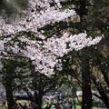 Photos: 【昭和記念公園「桜の園」満開の桜】4