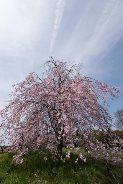 【昭和記念公園(八重しだれ桜)】1