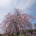 Photos: 【昭和記念公園(八重しだれ桜)】1