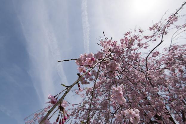Photos: 【昭和記念公園(八重しだれ桜)】2