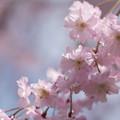 Photos: 【昭和記念公園(八重しだれ桜)】4