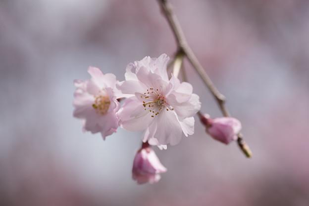 【昭和記念公園(八重しだれ桜)】5