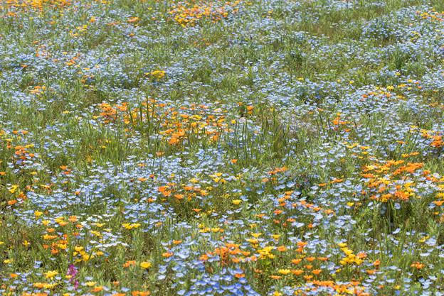 【花菜ガーデン(ディモルフォセカ)】1