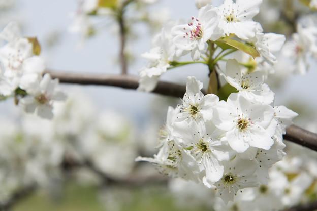 【花菜ガーデン(梨:豊水)】
