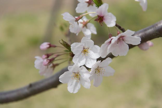 【花菜ガーデン(桜:染井吉野)】3