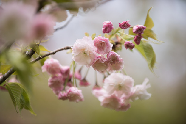 【昭和記念公園(里桜「松月~Syougetu)】3