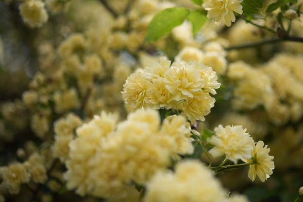 【大船植物園(黄色のモッコウバラ)】2