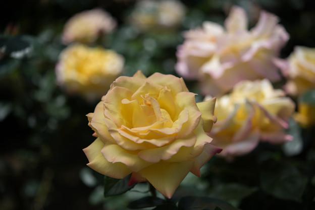 【花菜ガーデン(ピース)】2