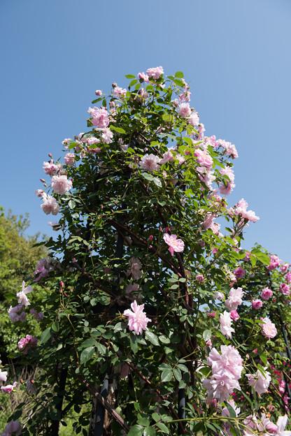 【花菜ガーデン(ブラッシュ・ブールソール)】1