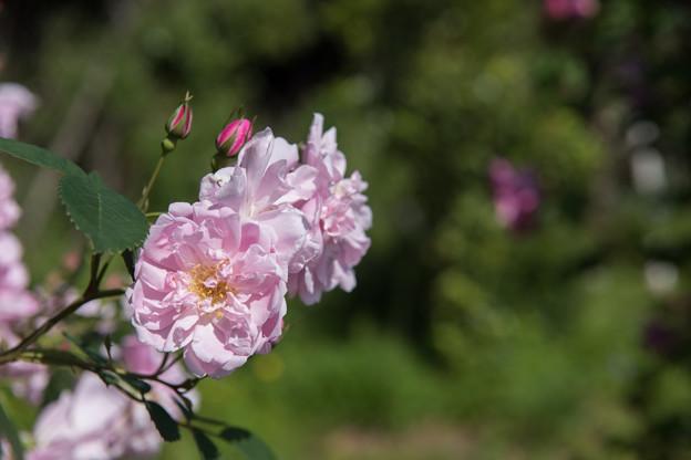 【花菜ガーデン(ブラッシュ・ブールソール)】2