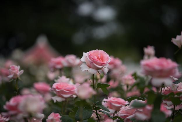 【生田緑地ばら苑(フラミンゴ)】1