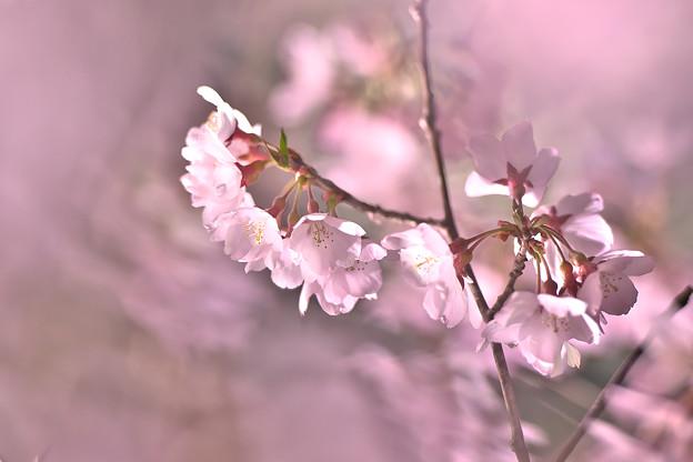 12高遠の桜D5(16.4.8-9) 178