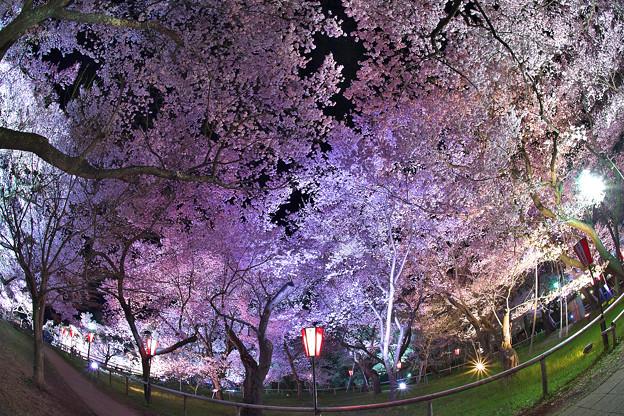 14高遠の桜D5(16.4.8-9) 218