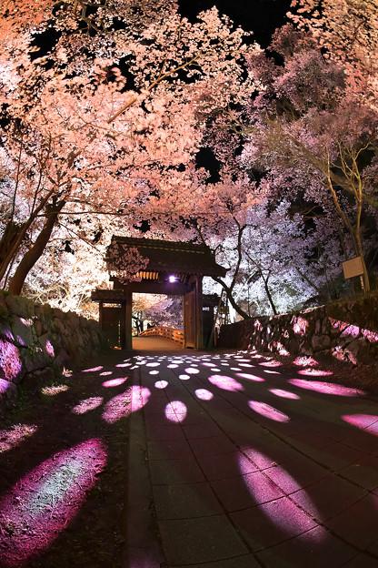 17高遠の桜D5(16.4.8-9) 249