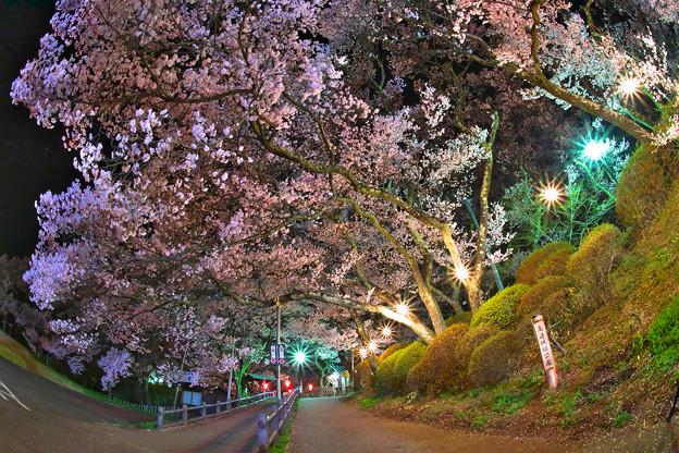 20高遠の桜D5(16.4.8-9) 262