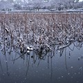写真: 蓮池の雪景色