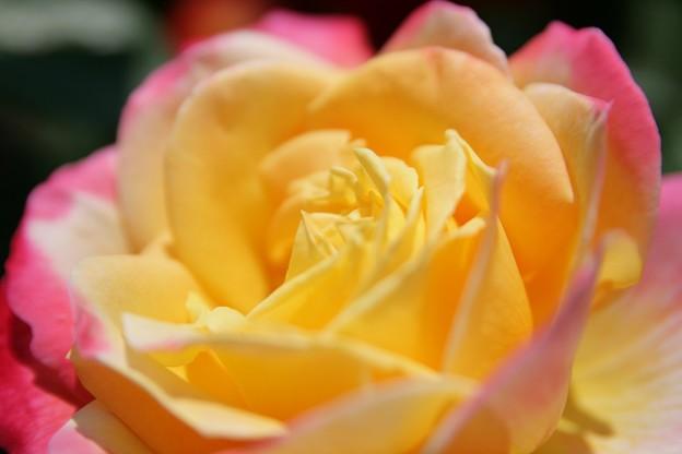 IMG_6089ばら園・薔薇(栄光)