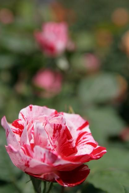 IMG_6116ばら園・薔薇(アラベスク)