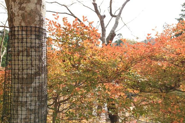 IMG_4193神護寺・灯台躑躅の紅葉