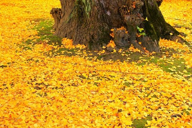 IMG_4830銀杏の絨毯