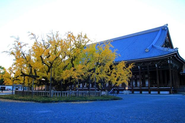 IMG_4839大銀杏と御影堂(国宝)