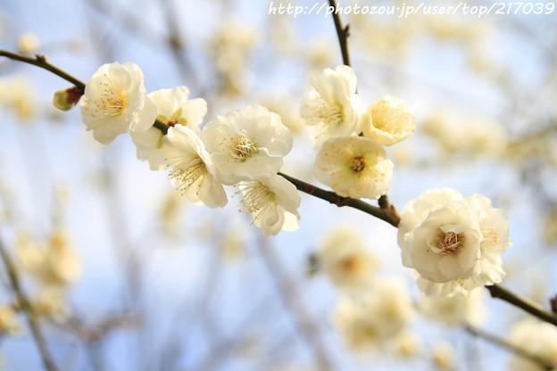 IMG_6395北野天満宮・緑萼梅