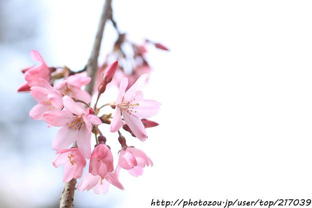 IMG_6879醍醐寺・紅枝垂桜
