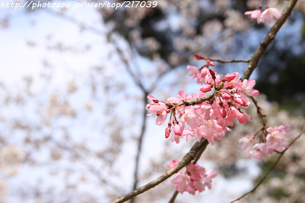IMG_6897醍醐寺・紅枝垂桜と染井吉野