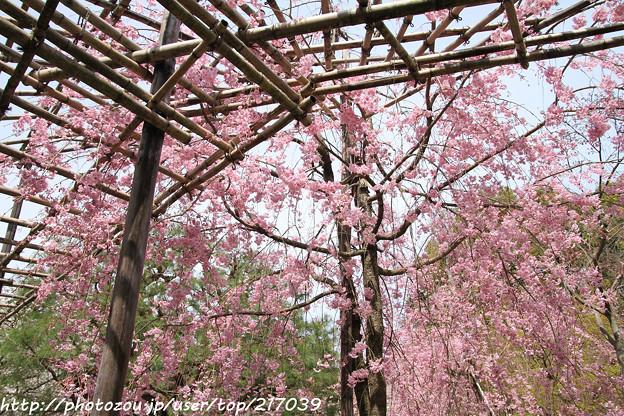 IMG_7052平安神宮・南神苑・八重紅枝垂桜