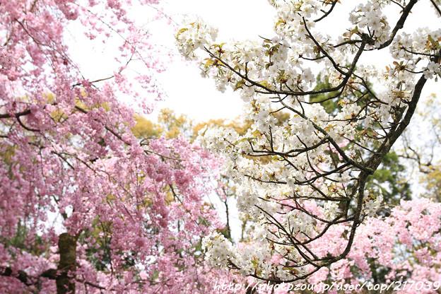 IMG_7067平安神宮・南神苑・桜と八重紅枝垂桜