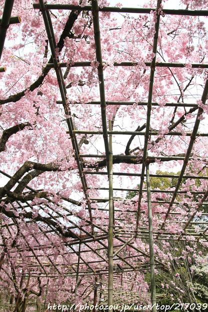 IMG_7083平安神宮・南神苑・八重紅枝垂桜