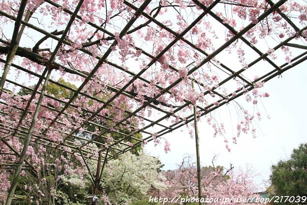 IMG_7084平安神宮・南神苑・八重紅枝垂桜