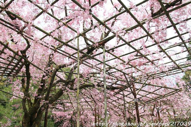 IMG_7089平安神宮・南神苑・八重紅枝垂桜