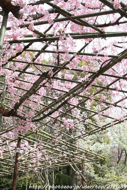 IMG_7093平安神宮・南神苑・八重紅枝垂桜