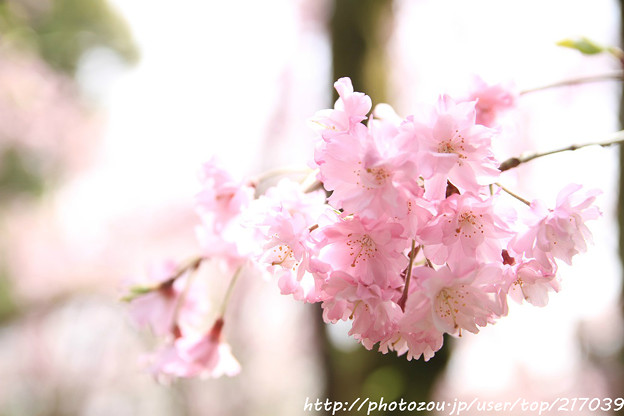 IMG_7119平安神宮・南神苑・八重紅枝垂桜