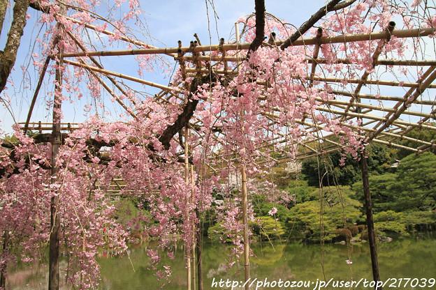 IMG_7175平安神宮・東神苑・紅枝垂桜