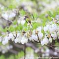 写真: IMG_7545松尾大社・灯台躑躅
