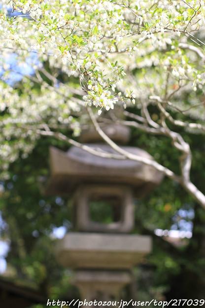 IMG_7616松尾大社・灯台躑躅と灯篭