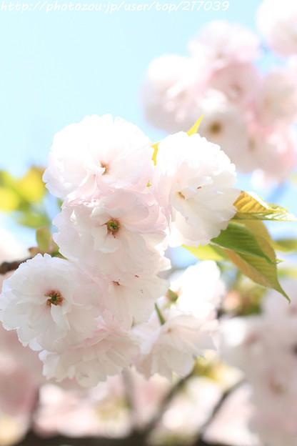 IMG_7695引接寺(千本ゑんま堂)・琴平桜