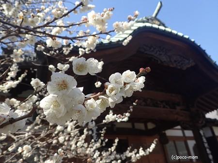 吉祥寺のお寺さん P2262394