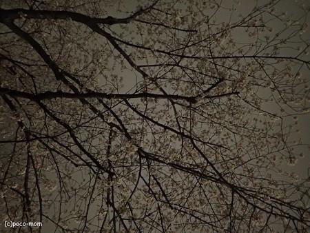 夜桜 P4010210