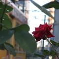 Photos: 冬バラ