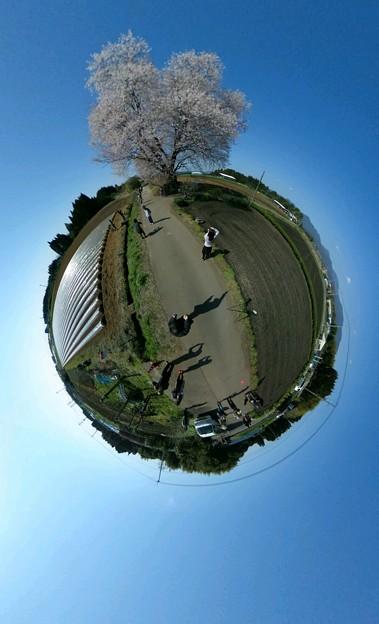 大坪の一本桜2